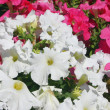 Petunia, background — Stock Photo #4182696