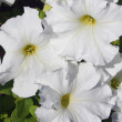White petunia — Stock Photo #4182710