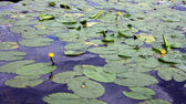 Many leaves of water lilies — Stock Photo