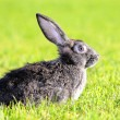 Rabbit — Foto Stock