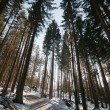 Pine trees in winter - Stock Photo