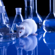 Rat in laboratory, test on animal — Stock Photo