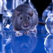 Rat in laboratory, test on animal - Foto Stock
