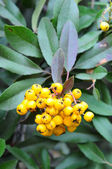 Berries and leaves yellow toyon — Stock Photo