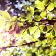 Green leaves with sun ray - Foto Stock