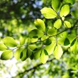 Green leaves with sun ray - Stockfoto