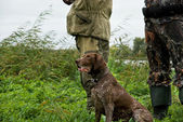 German pointer hunting — Stock Photo