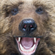 Bear closeup - Stock Photo