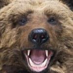 Bear closeup — Stock Photo