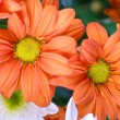 Orange chrysanthemum — Stock Photo #4811263