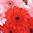 Gerbera flowers - Stock Photo