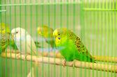 Parrots — Foto de Stock