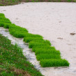 Rice fields — Stock Photo #4221861