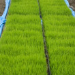 Rice fields — Stock Photo #4221892