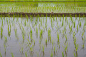 Rice fields — Foto de Stock