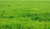 Rasen gras — Stockfoto