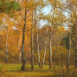 Colorful birches in the wood — Stock Photo