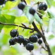 Black currant after a rain — Stock Photo