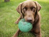 Chocolate Labrador — Stock Photo