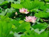 Blooming lotus flower over dark background — Stock Photo