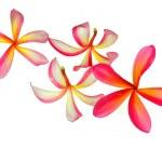 Pink Plumeria Flowers — Stock Photo #4125206