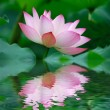 Pink lotus — Stock Photo #4125478