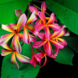 Stock Photo: Frangipani or plumeria tropical flower
