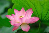 Pink lotus flower among green foliage — Stock Photo