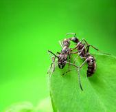 Myror på ett grönt gräs — Stockfoto