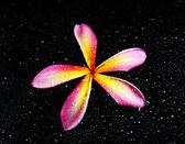 Sıvı kabarcıkları ile frangipani veya plumeria tropikal çiçek — Stok fotoğraf