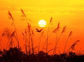 对太阳光在天空背景中与沙漠鸟日落芦苇 — 图库照片