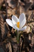 Azafrán blanco — Foto de Stock