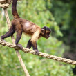 Capuchin monkey — Stock Photo #5316069