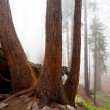 Sequoya - Stock Photo
