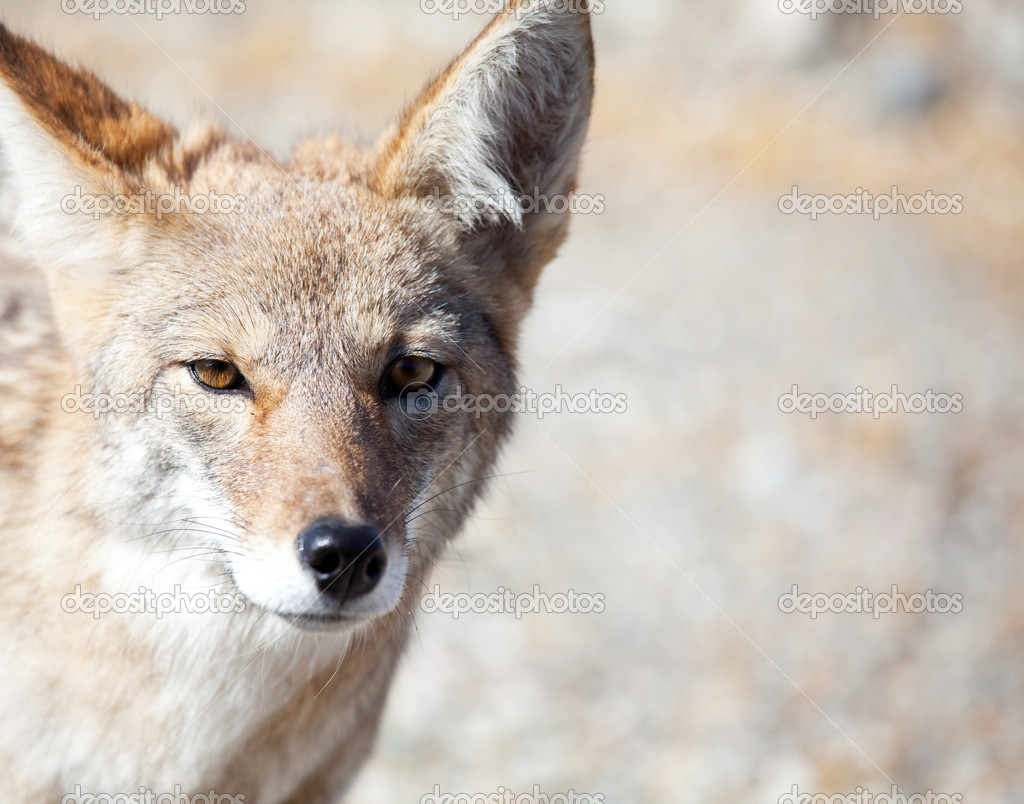 Coyote closeup — Stock Photo #4275680