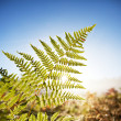 Fern — Stock Photo #4296445