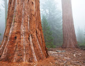 Sequoya — Stock Photo