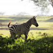 Zebra — Stock Photo #4311013