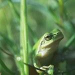 Frog — Stock Photo #4311975