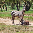 Zebra — Stock Photo #4351562