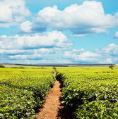 Tea plantation — Foto de Stock