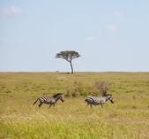 Zebras — Стоковое фото