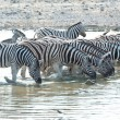 Stock Photo: Zebras in Etosha