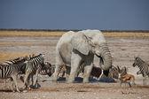 Elephant and zebras — Stock Photo
