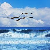 Pélicans au-dessus de l'océan — Photo