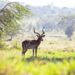 Antelope in Nakuru Park,Kenya — Stock Photo