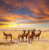 Antelope in Etosha Park — Stock Photo