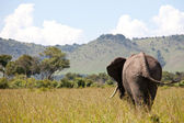 Elephant in savannah ,Masai Mara Park,Kenya — Stock Photo
