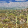 Cactus in Saguaro Park — Stock Photo