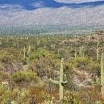 Cactus in Saguaro Park — Stock Photo